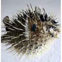 https://starbek-static.myshopblocks.com/images/tmp/se_360_porcupine177.jpg