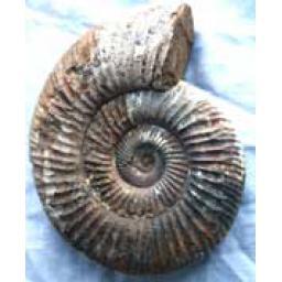 https://starbek-static.myshopblocks.com/images/tmp/nt_341_ammonite177.jpg
