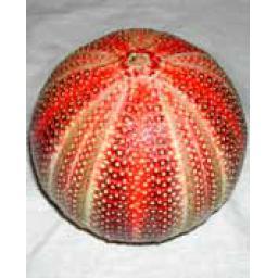https://starbek-static.myshopblocks.com/images/tmp/se_152_urchin1.5.jpg