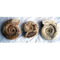 https://starbek-static.myshopblocks.com/images/tmp/nt_341_ammonite600b.jpg