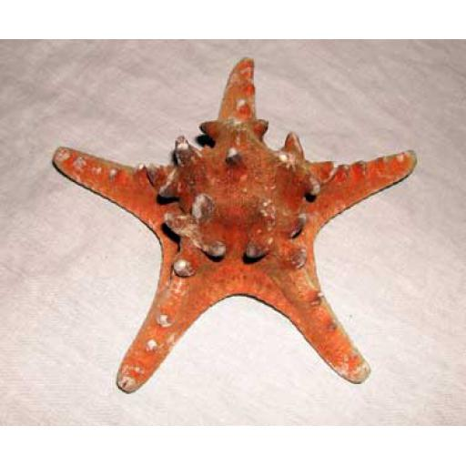 2 x Medium Thorney Starfish