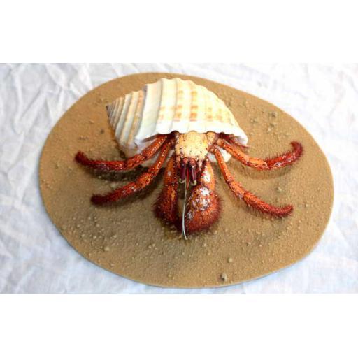 Tonna Hermit Crab