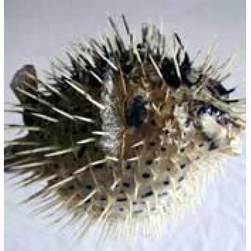 Medium Porcupine Fish