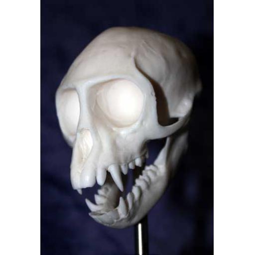 Monkey Skull in Glass Dome