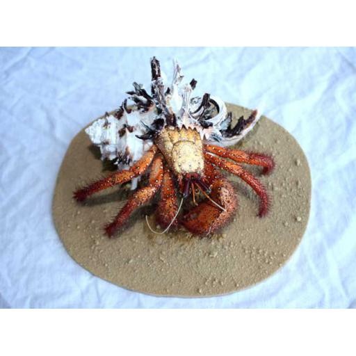 Murex Hermit Crab