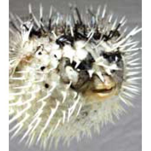 Small Porcupine Fish
