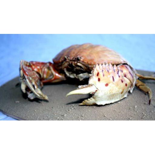 Large Box Crab
