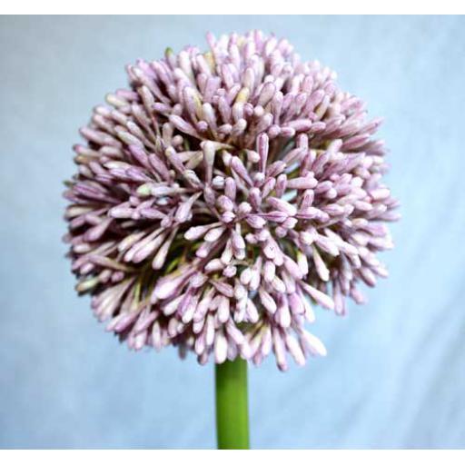 Lilac Head