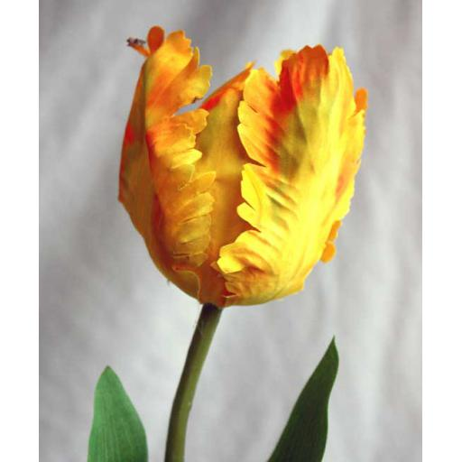 Feathered Tulip