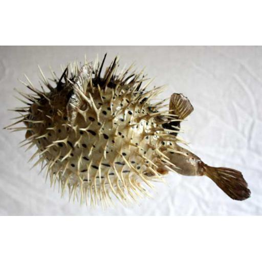 https://starbek-static.myshopblocks.com/images/tmp/se_360_porcupine650a.jpg