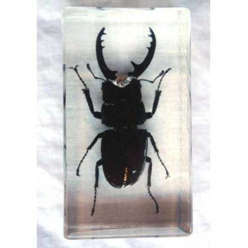 Black Stag Beetle