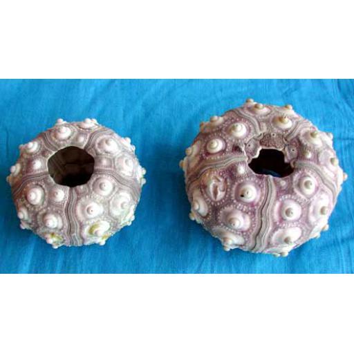 2 x Sputnik Urchins