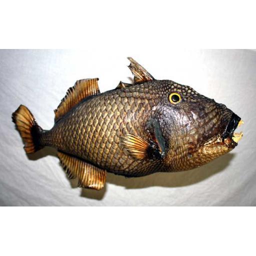 Medium Trigger Fish