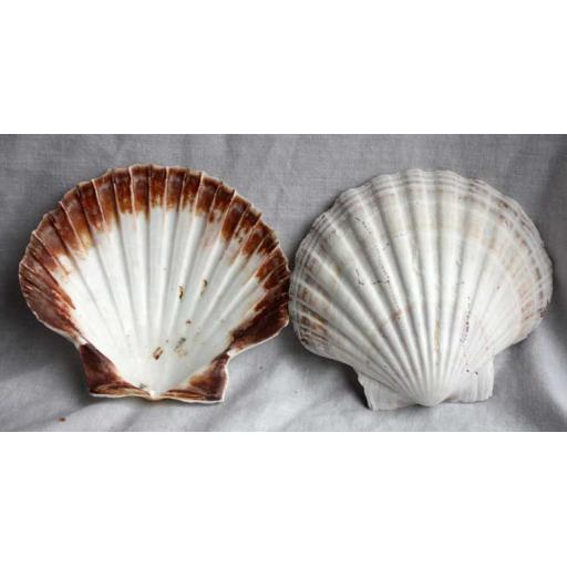 2 x Large Scallop Shells