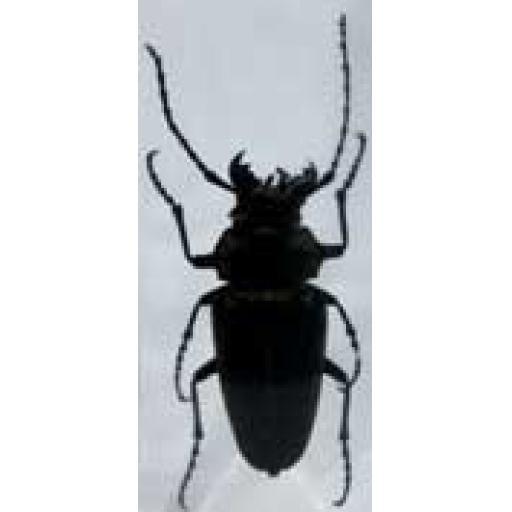 Trictenotomid Beetle