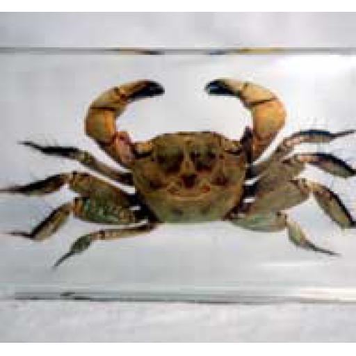 Small Crab in Resin Block