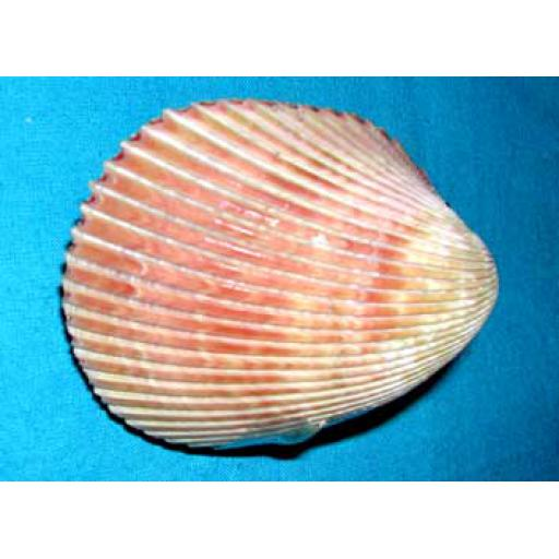 Whole Large Cockle