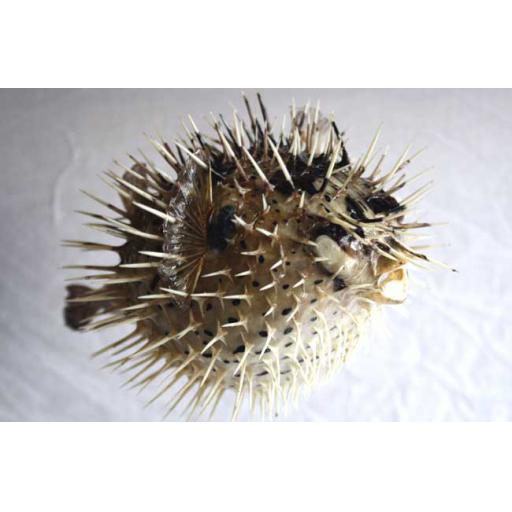 https://starbek-static.myshopblocks.com/images/tmp/se_360_porcupine650b.jpg