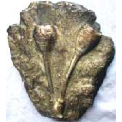 Fossil Sea Lily Cast