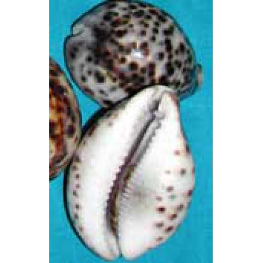 Large Cowries