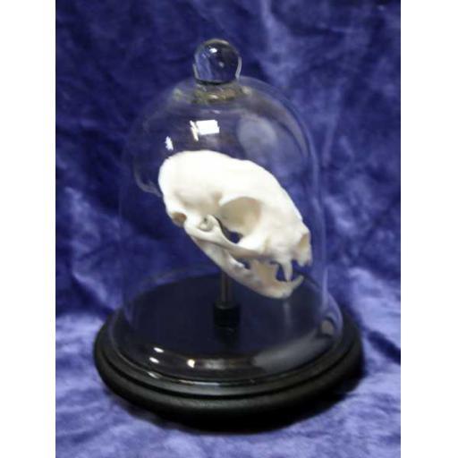 Cat Skull in Glass Dome